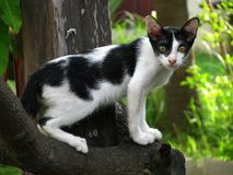 英俊的泰国黑白色猫在地方村庄 库存图片