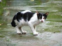 英俊的泰国黑白色猫在地方村庄 免版税库存照片