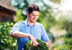 英俊的花匠修剪一点黄杨木潜叶虫灌木,绿色晴朗的natur 库存图片
