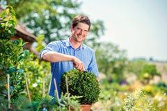 英俊的花匠修剪一点黄杨木潜叶虫灌木,绿色晴朗的natur 免版税库存照片