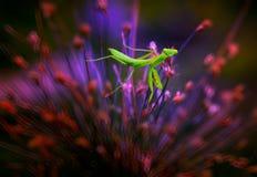 英俊的螳螂 图库摄影