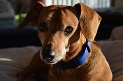 英俊的达克斯猎犬 免版税图库摄影