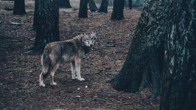 英俊的饥饿的狼在森林里 库存图片