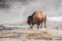 英俊的年轻北美野牛 库存图片