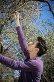 英俊的年轻意大利人采摘橄榄 图库摄影