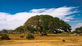 英勇榕属Daaro美国梧桐, Segheneyti,厄立特里亚的标志 库存图片