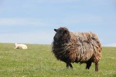 英国与白羊的布朗绵羊在背景 免版税库存照片