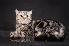 英国与黄色眼睛的平纹shorthair幼小猫,在黑背景的英国小猫 免版税图库摄影