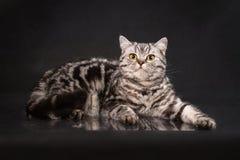 英国与黄色眼睛的平纹shorthair幼小猫,在黑背景的英国小猫 库存照片