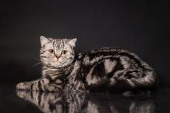 英国与黄色眼睛的平纹shorthair幼小猫,在黑背景的英国小猫 免版税库存照片