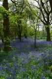 英国会开蓝色钟形花的草木头在春天。 免版税库存图片