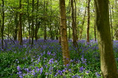 英国会开蓝色钟形花的草木头在春天。 库存照片