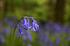 英国会开蓝色钟形花的草 免版税库存照片