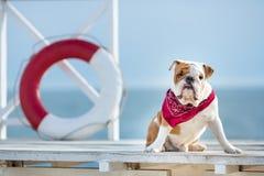 英国公牛狗逗人喜爱的小狗与滑稽的面孔和红色班丹纳花绸的在接近救生bouy圆的流动工的脖子 免版税图库摄影