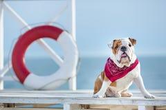 英国公牛狗逗人喜爱的小狗与滑稽的面孔和红色班丹纳花绸的在接近救生bouy圆的流动工的脖子 免版税库存照片