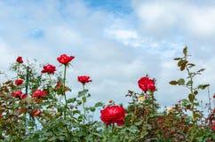 英国兰开斯特家族族徽在有多云蓝天的玫瑰色种植园 库存图片