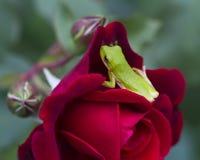 英国兰开斯特家族族徽开花和绿色雨蛙 免版税库存照片