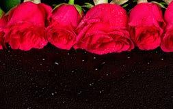 英国兰开斯特家族族徽花束与露滴的 库存图片