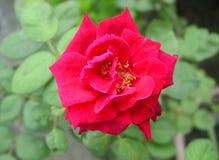 英国兰开斯特家族族徽花 美丽在Valentine's天上升了 免版税库存照片