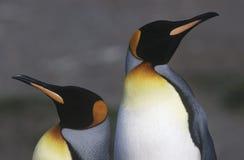 英国南乔治亚岛两站立并行的关闭的企鹅国王  免版税库存图片