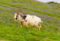 英国原始山羊品种大垫铁刮胡须和会开蓝色钟形花的草 免版税库存图片
