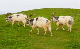 英国原始山羊品种大垫铁刮胡须和会开蓝色钟形花的草 库存照片