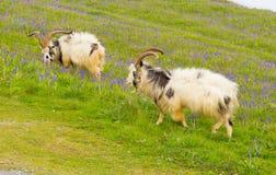 英国原始山羊品种大垫铁刮胡须和会开蓝色钟形花的草 图库摄影