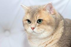 英国品种的面孔小猫 他在半轮坐 库存图片
