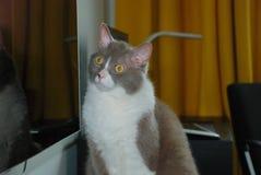 英国品种谎言和姿势大灰色猫照相机的 库存图片