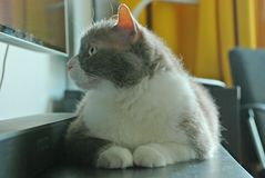 英国品种谎言和姿势大灰色猫照相机的 库存照片