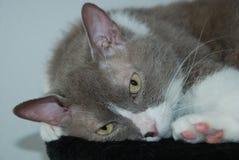 英国品种谎言和姿势大灰色猫照相机的 图库摄影