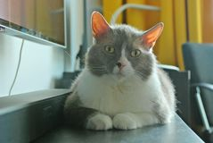 英国品种谎言和姿势大灰色猫照相机的 免版税库存图片