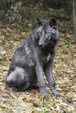 英国哥伦比亚的狼垂直 免版税库存照片