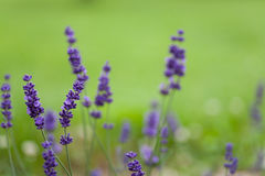 英国在一个绿色背景的淡紫色特写镜头 库存照片