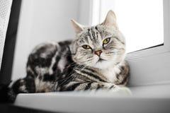 英国在窗口基石的猫烟草花叶病的开会 免版税图库摄影