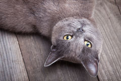英国在蓝色背景演播室射击放置猫 免版税库存图片
