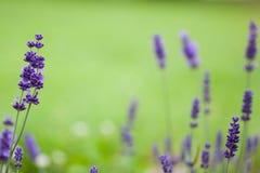 英国在绿色背景的淡紫色特写镜头 库存图片