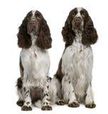 英国坐的西班牙猎狗蹦跳的人二 库存照片