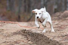英国塞特种猎狗小狗赛跑 免版税库存图片