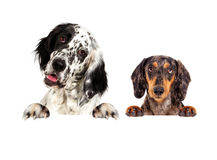 英国塞特种猎狗狗和达克斯猎犬偷看 免版税库存照片