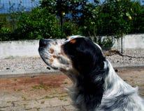 英国塞特种猎狗狗在国家 图库摄影