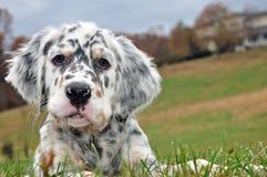 英国塞特种猎狗狗 库存照片