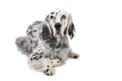 英国塞特种猎狗 库存照片