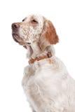 英国塞特种猎狗 图库摄影