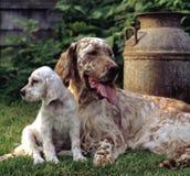 英国塞特种猎狗 免版税库存图片