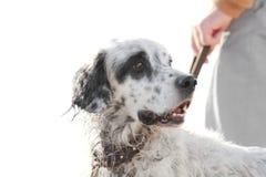 英国塞特种猎狗 库存图片