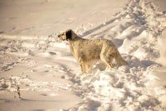 英国塞特种猎狗 免版税库存照片