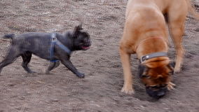 英国大型猛犬和一法国牛头犬使用 影视素材