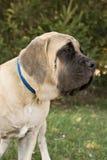 英国大型猛犬纵向 库存照片