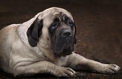 英国大型猛犬纵向 免版税库存照片